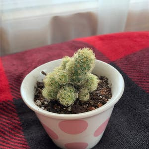 Rating of the plant Lady Finger Cactus named Ladyfinger Cactus by Mpriest on Greg, the plant care app