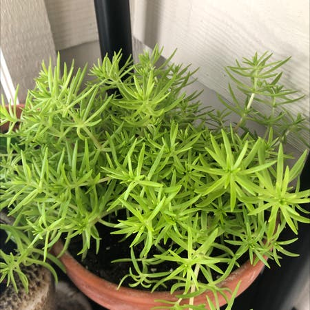 Photo of the plant species Lemon Ball Sedum by Lydiasc named Sedum on Greg, the plant care app