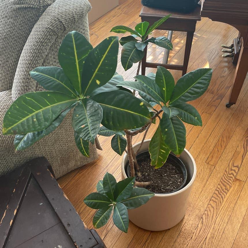 Money Tree plant in Evanston, Illinois