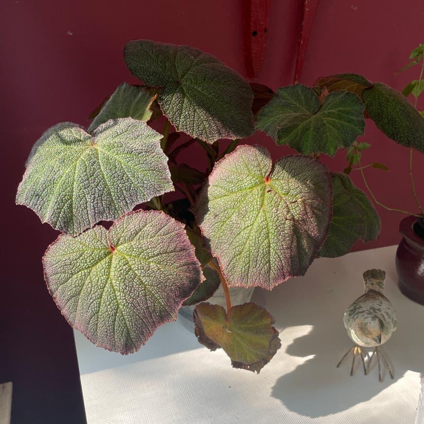 Rex Begonia plant in Evanston, Illinois