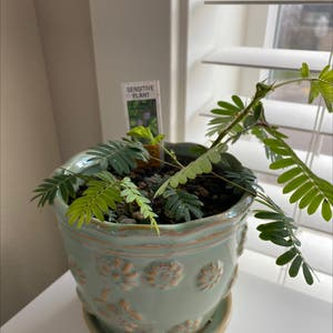 Sensitive Plant plant photo by Isamacy named Amber on Greg, the plant care app.