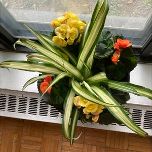 Cornstalk Dracaena plant photo by Autumncool named Atul on Greg, the plant care app.