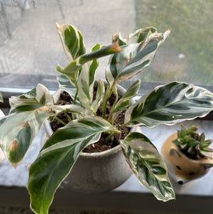 Calathea 'White Fusion' plant photo by Jamiekins named Your plant on Greg, the plant care app.