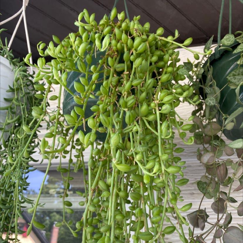 String of Pearls plant in Somerville, Massachusetts