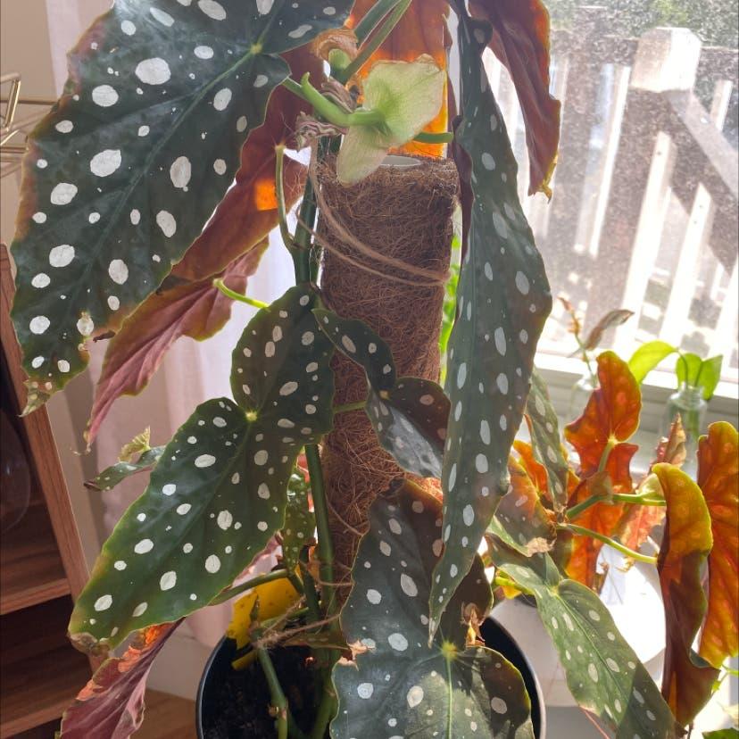 Polka Dot Begonia plant in Somerville, Massachusetts