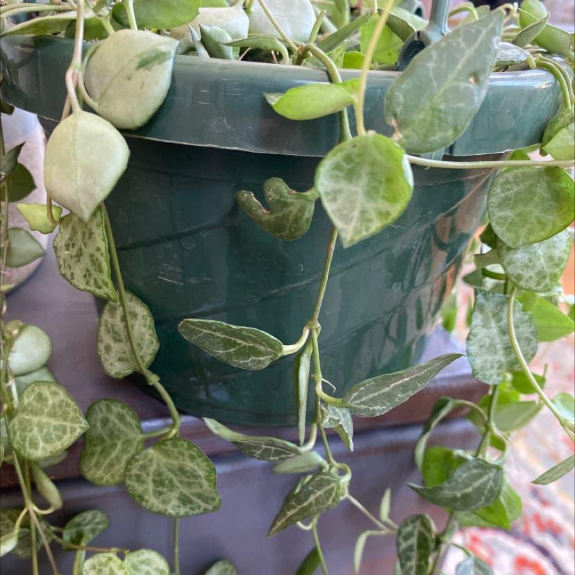 String of Hearts plant in Somerville, Massachusetts