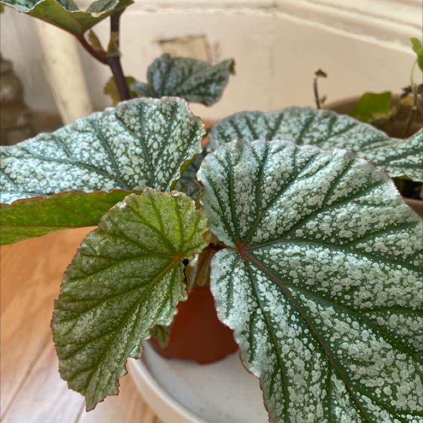 Rex Begonia plant in Somerville, Massachusetts
