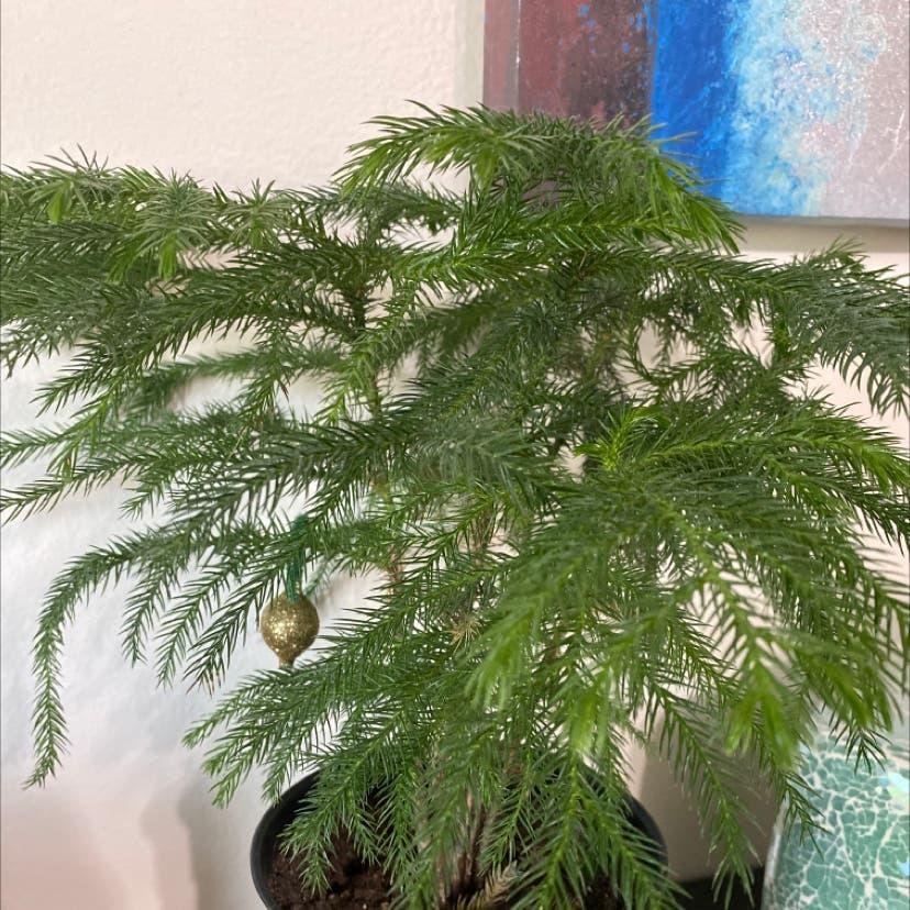 Norfolk Island Pine plant in Somerville, Massachusetts