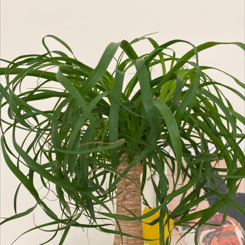 Ponytail Palm plant in Somerville, Massachusetts