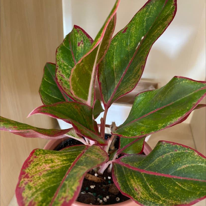 Chinese Evergreen plant in Somerville, Massachusetts