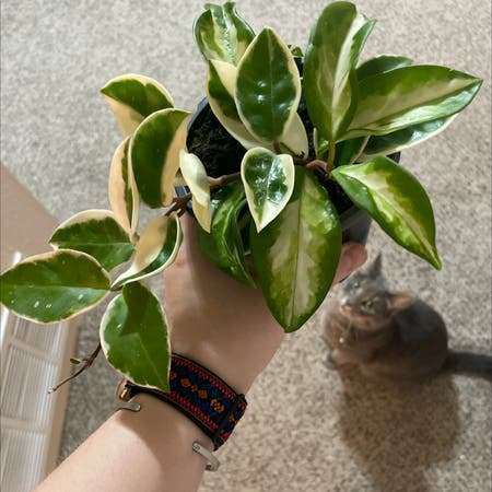 Photo of the plant species Hoya Krimson Queen by Clep named Can I get a HOYAAA on Greg, the plant care app