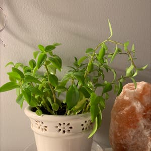 Peperomia 'Amigo Marcello' plant photo by Blanca named Jenny on Greg, the plant care app.