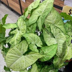Arrowhead Plant plant photo by Tedandgab named Harris on Greg, the plant care app.
