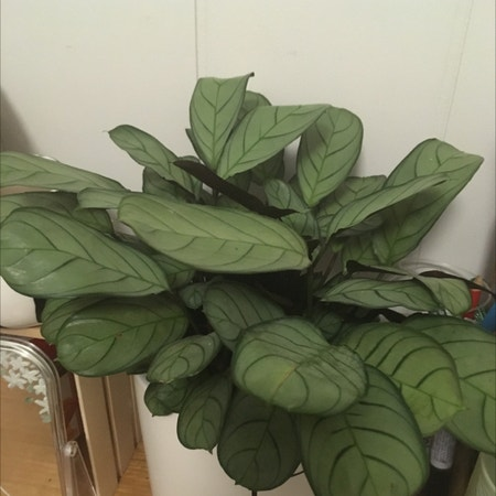 Photo of the plant species Ctenanthe amagris by Riana named Peter on Greg, the plant care app