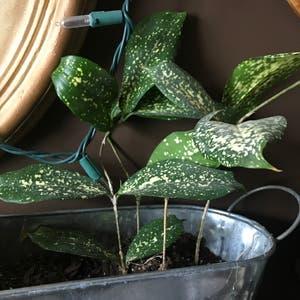 Gold Dust Dracaena plant photo by Stargirl named Barley on Greg, the plant care app.