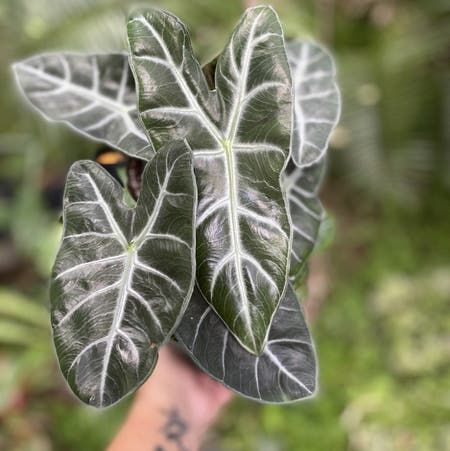 Photo of the plant species Alocasia 'Ebony' by Alicampbell named Ebony on Greg, the plant care app