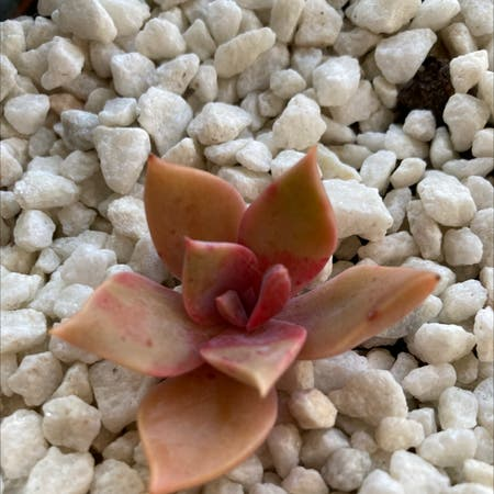 Photo of the plant species Graptoveria 'Douglas Huth' by Sam named Sherlock on Greg, the plant care app