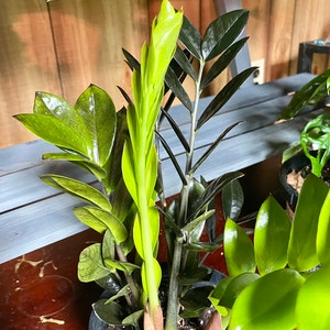"""Rating of the plant ZZ plant named """"Black Raven"""" ZZ by Shivlit on Greg, the plant care app"""