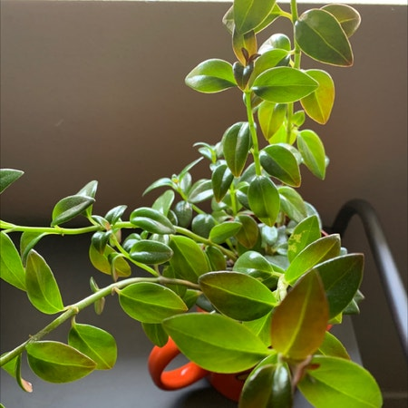 Photo of the plant species Columnea Gloriosa by Aem named Alani on Greg, the plant care app