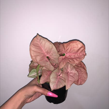 Photo of the plant species neon robusta by Marinabida named Piglet on Greg, the plant care app