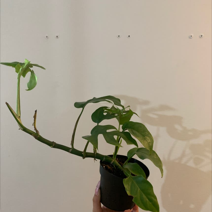 Split Leaf Philodendron plant in Mississauga, Ontario