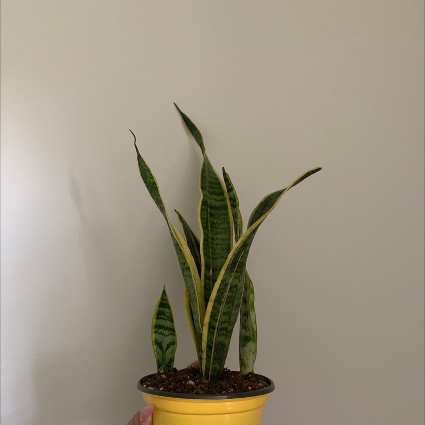 Snake Plant plant in Mississauga, Ontario