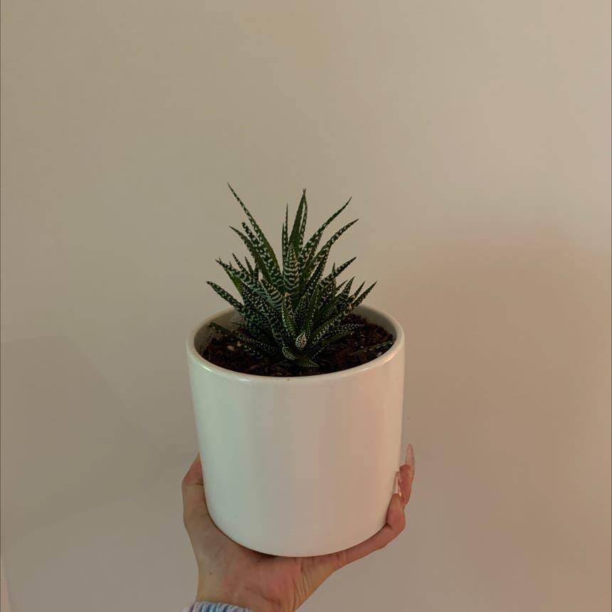 Zebra Haworthiopsis plant in Mississauga, Ontario