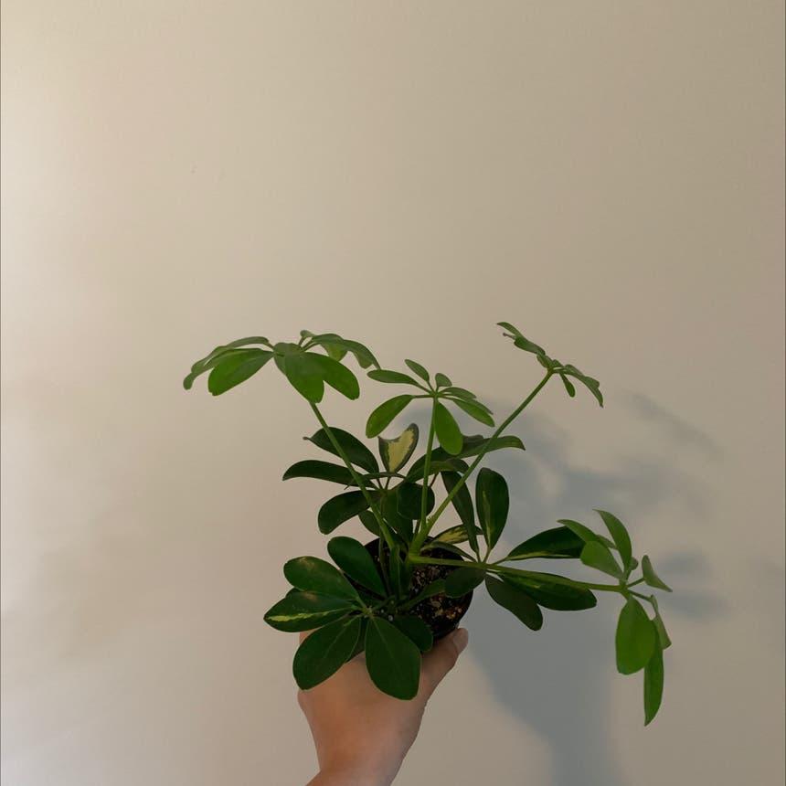 Dwarf Umbrella Tree plant in Mississauga, Ontario