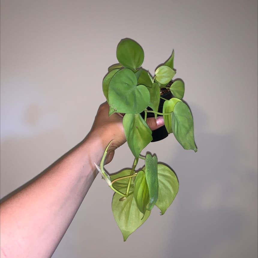 Heartleaf philodendron plant in Mississauga, Ontario