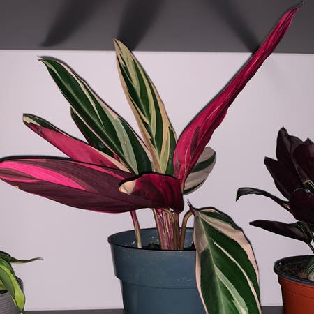 Photo of the plant species Never Never Plant by Marinabida named Pretty bish on Greg, the plant care app