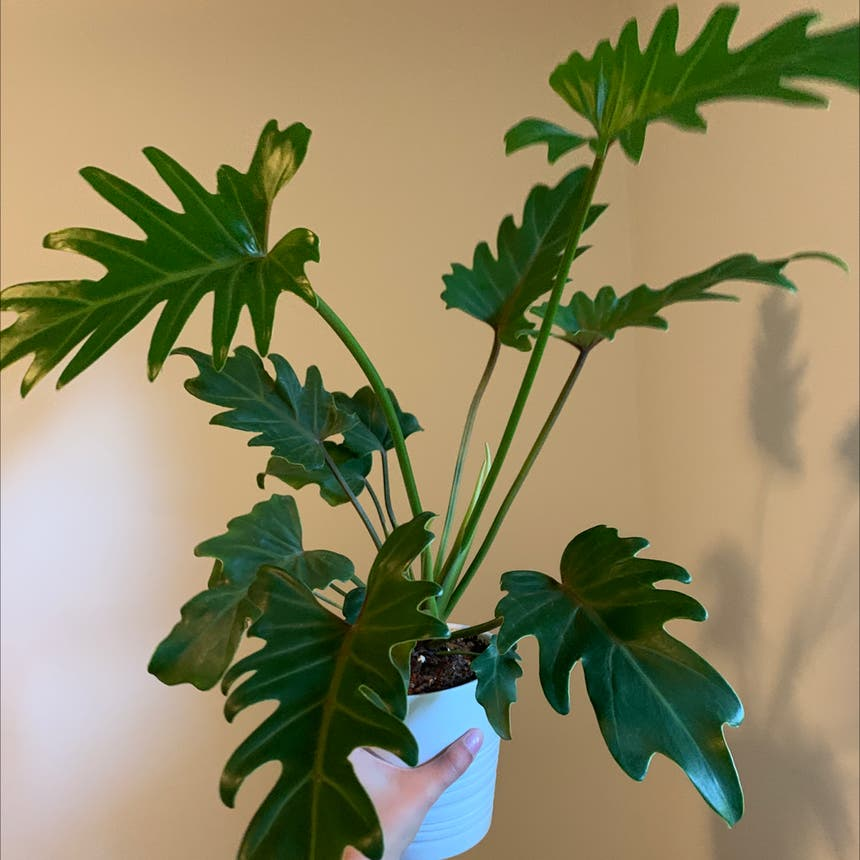 Philodendron Xanadu plant in Mississauga, Ontario