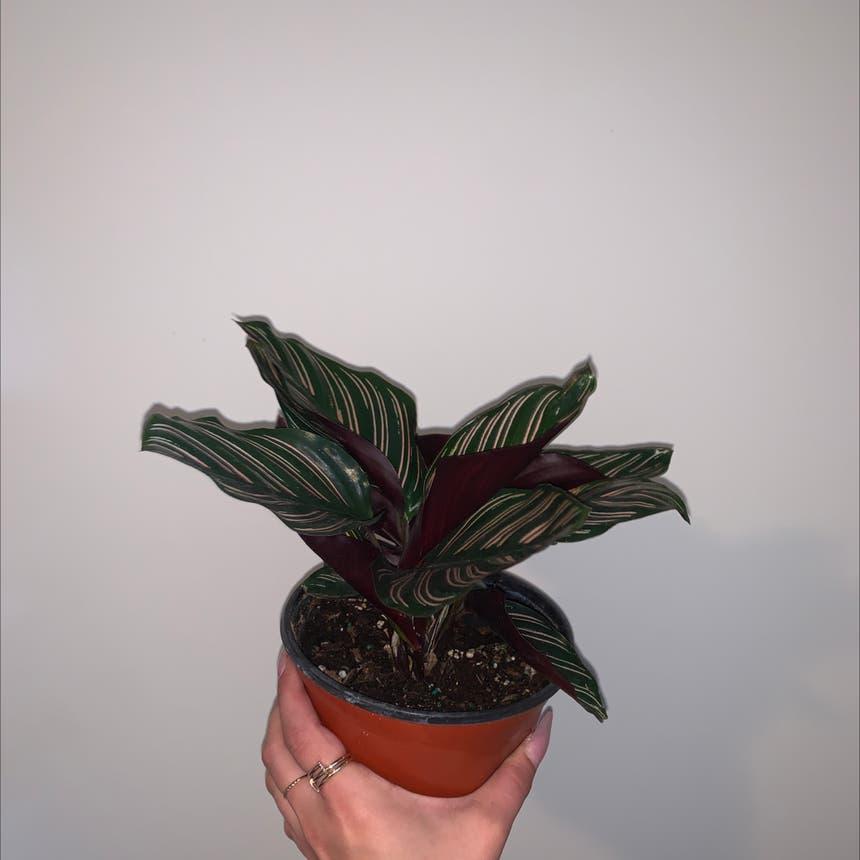 Pinstripe Plant plant in Mississauga, Ontario