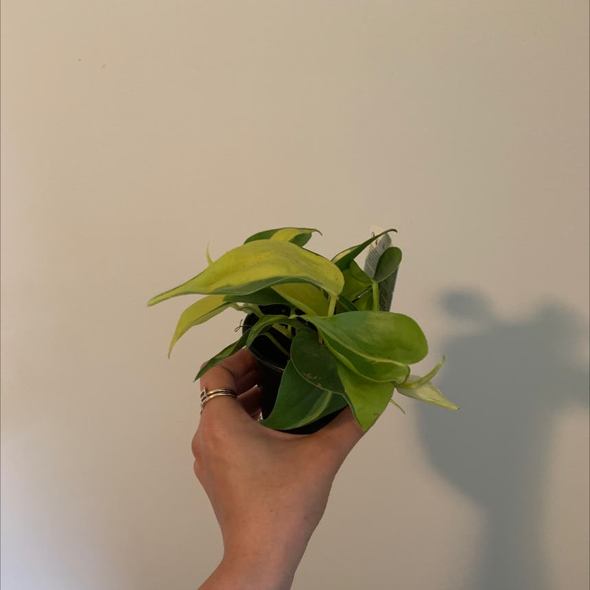 Philodendron 'Lemon Lime' plant in Mississauga, Ontario