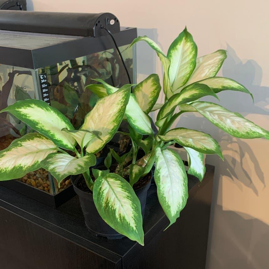 Dieffenbachia plant in Mississauga, Ontario
