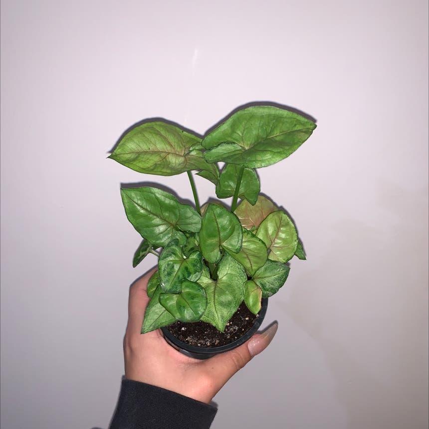Syngonium 'Gold Allusion' plant in Mississauga, Ontario