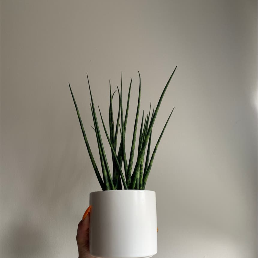 Cylindrical Snake Plant plant in Mississauga, Ontario