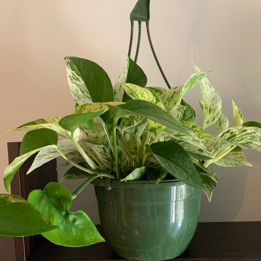 Marble Queen Pothos plant in Mississauga, Ontario