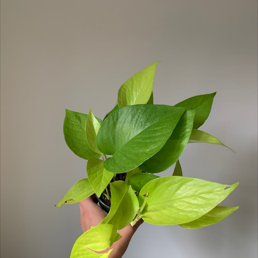 Golden Pothos plant in Mississauga, Ontario