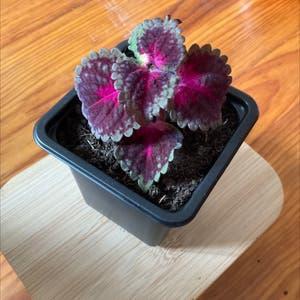 Coleus scutellarioides plant photo by Sevi named Poupette on Greg, the plant care app.