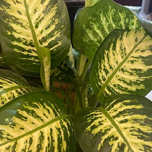 Rating of the plant Dieffenbachia named Snow white by Salimr88 on Greg, the plant care app