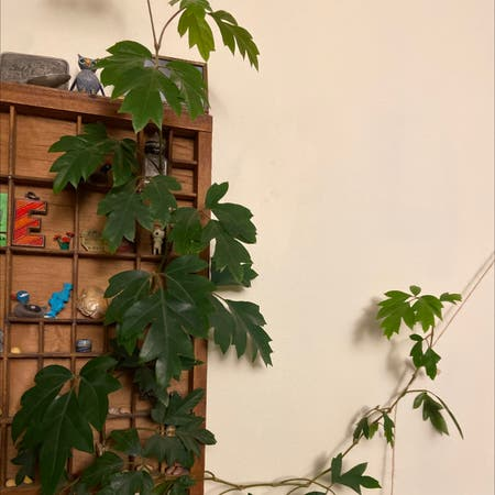 Photo of the plant species Cissus Rhombifolia by Emmafogg named Vino on Greg, the plant care app