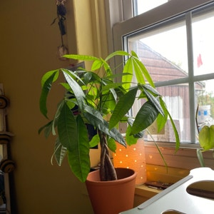 Money Tree plant photo by Coolahs named Tree Diddy on Greg, the plant care app.