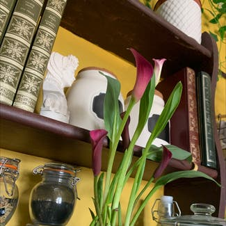 Calla Lily plant in Swansea, Wales
