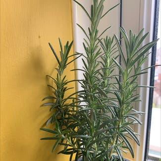 Rosemary plant in Swansea, Wales