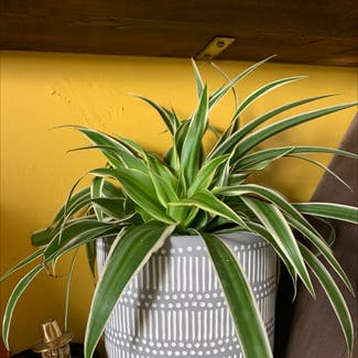 Spider Plant plant in Swansea, Wales