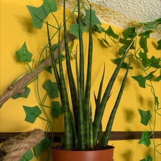 Cylindrical Snake Plant plant in Swansea, Wales
