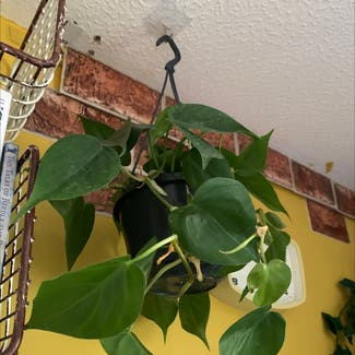 Heartleaf philodendron plant in Swansea, Wales