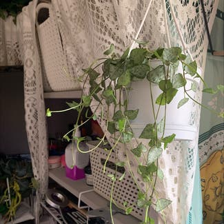 String of Hearts plant in Swansea, Wales