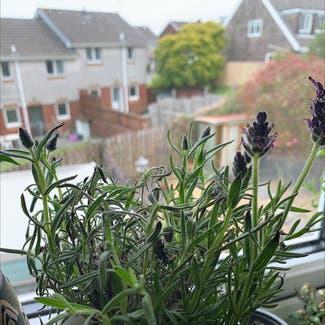 Lavender plant in Swansea, Wales