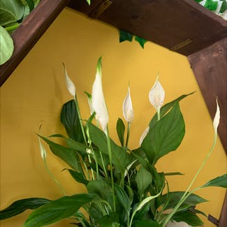 Peace Lily plant in Swansea, Wales